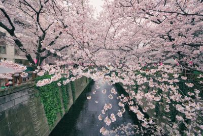 Awesome Pictures of Blossom Cherry Trees in Japan