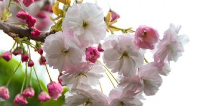 Dawn Spencer Hurwitz Gekkou Hanami ~ fragrance review
